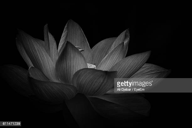 Close-Up Of Lotus Water Lily Against Black Background