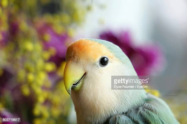 Close-Up Of Lovebird Indoors