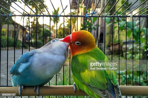 Close-Up Of Lovebirds In Cage