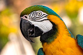 Closeup portrait of macaw parrot; ara parrot portrait; bright feathered parrot
