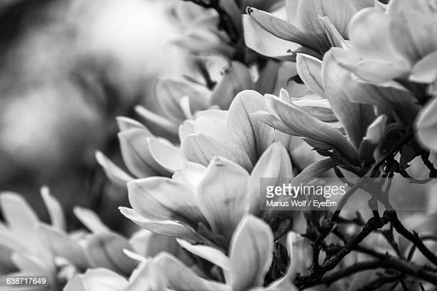 Close-Up Of Magnolia Flowers Blooming
