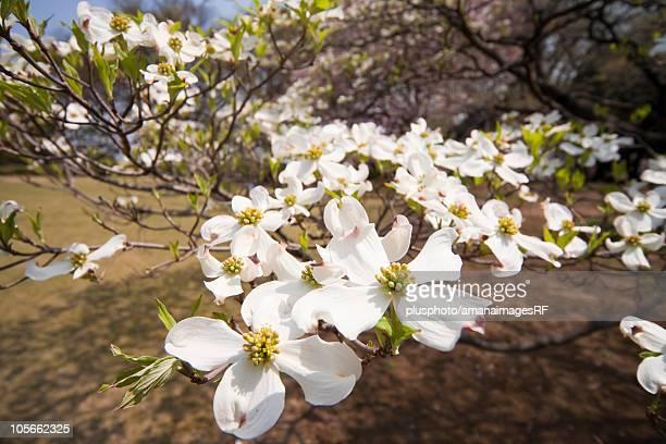 Close-up of Magnolias