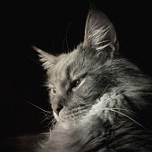 Close-Up Of Maine Coon Cat On Black Background