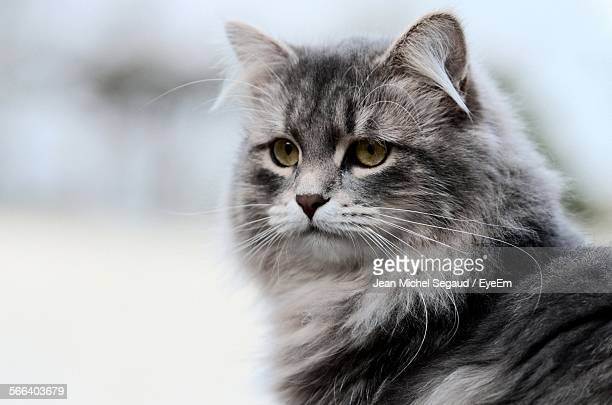 Close-Up Of Maine Coon Cat Outdoors