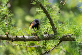 Cute little bird peeking out of green brightly lit coniferous tree branches