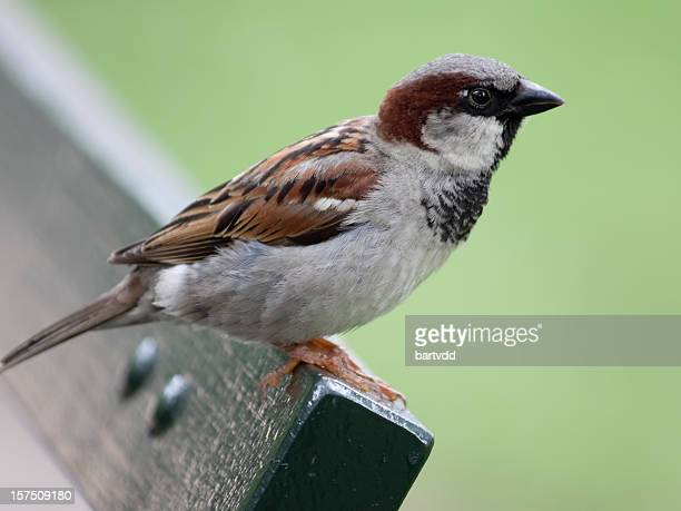 Close-up of male house sparrow (Passer domesticus)