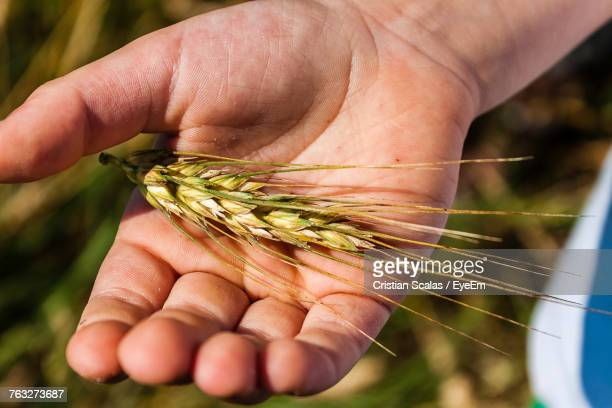 Close-Up Of Man Holding Ear Of Wheat