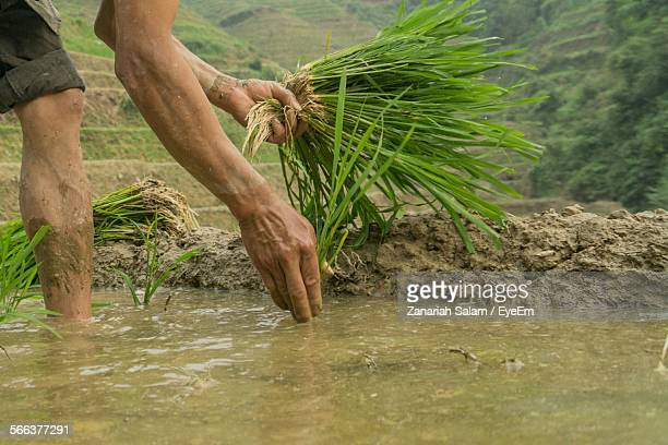 Close-Up Of Man Planting In Paddy