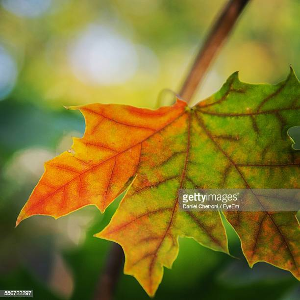Close-Up Of Maple Leaf In Forest