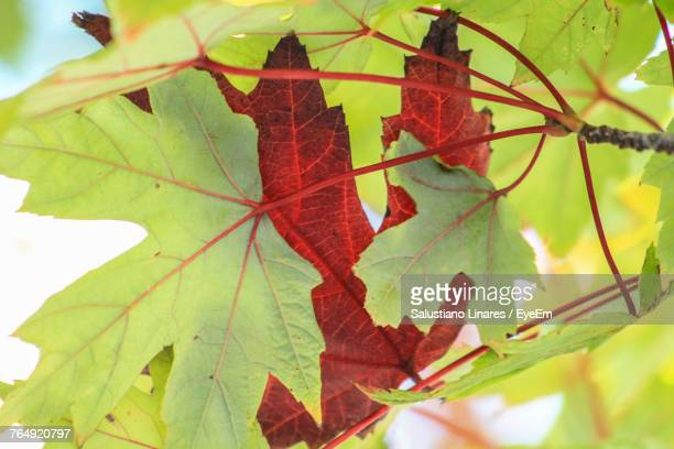Close-Up Of Maple Leaf On Branch