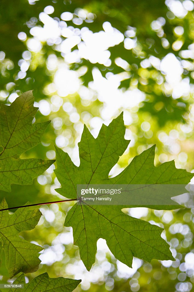 Close-up of maple leaf : Stockfoto