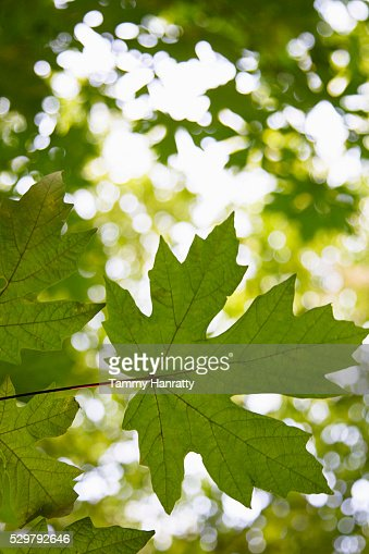 Close-up of maple leaf : Stock-Foto