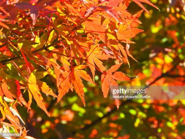 Close-Up Of Maple Leaves On Tree During Autumn