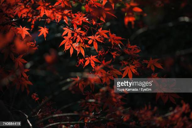 Close-Up Of Maple Tree During Autumn At Night
