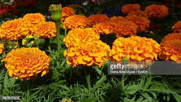 Close-Up Of Marigolds Blooming In Field