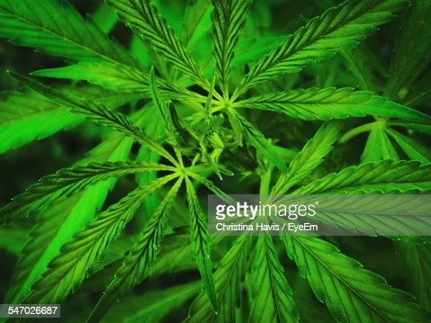 Close-Up Of Marijuana Leaves