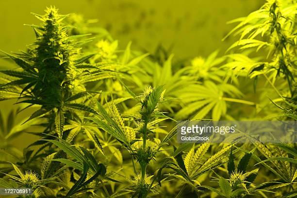 Close-up of Marijuana plants