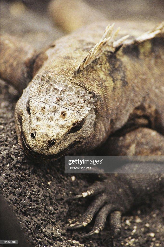 Close-up of marine iguana climbing on rock  : Stock Photo