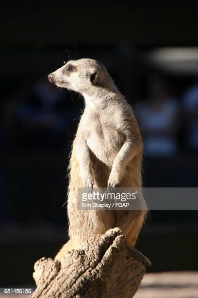 Close-up of meerkat on log