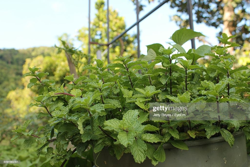 Close-Up Of Mint Grows In Pot