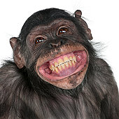 Close-up of Mixed-Breed monkey between Chimpanzee and Bonobo smiling.