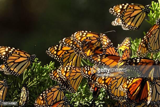 Close-up di farfalle monarca su Branch