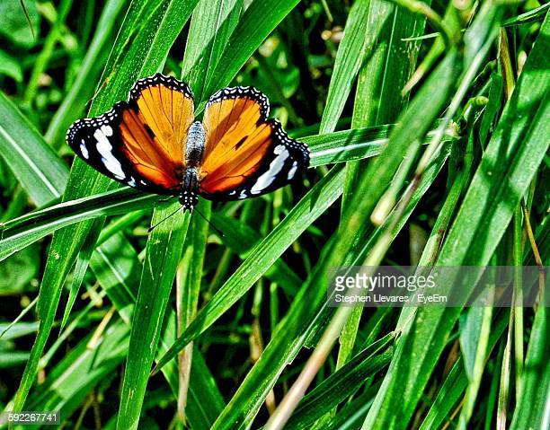 Close-Up Of Monarch Butterfly Perching On Green Grass