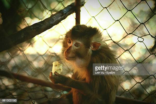 Close-Up Of Monkey Eating Banana In Cage