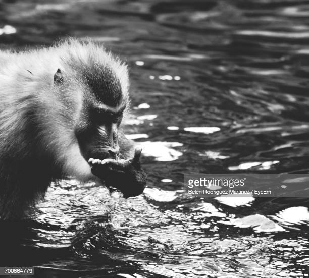 Close-Up Of Monkey In Lake