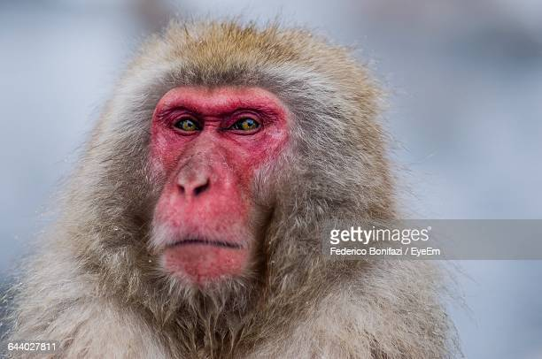 Close-Up Of Monkey Looking At Camera During Winter