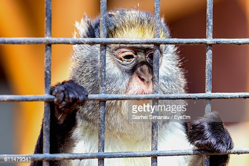 Close-Up Of Monkey Looking Through Cage At Zoo