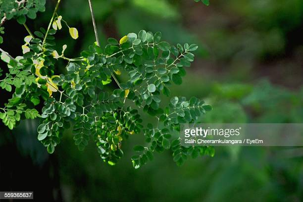 Close-Up Of Moringa Leaves Growing In Forest