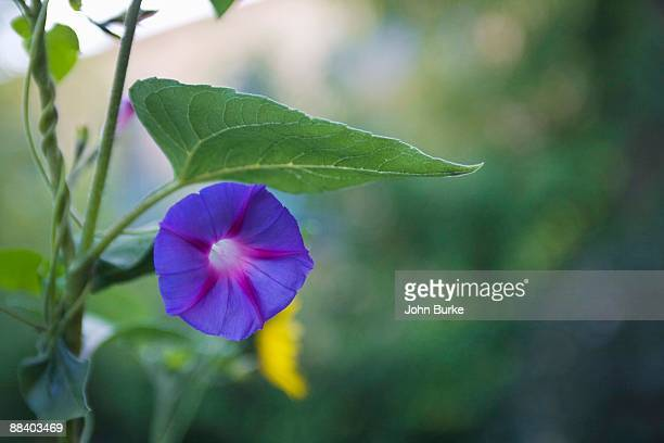 Close-up of morning glory flower