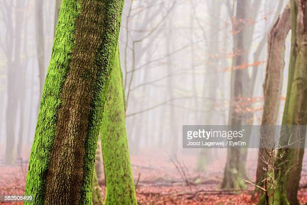 Close-Up Of Moss Growing On Tree Trunks In Forest