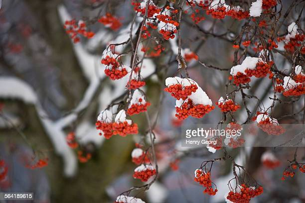 Close-up of mountain ash covered in snow in Fernie, Canada.