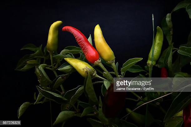 Close-Up Of Multi Colored Chili Peppers At Night