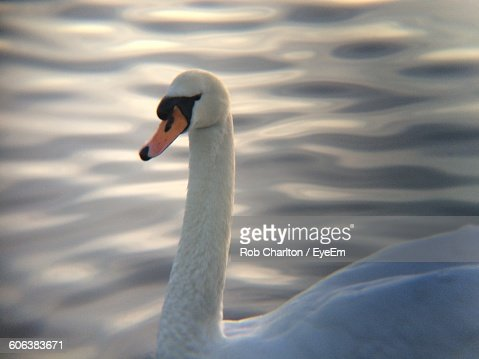 Close-Up Of Mute Swan Swimming In Lake