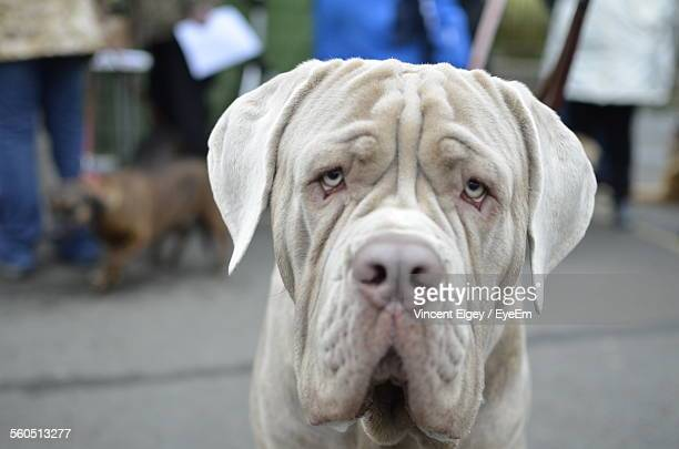 Close-Up Of Neapolitan Mastiff