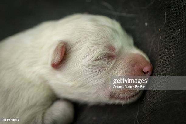 Close-up of new born Samoyed sleeping