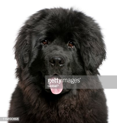 Closeup Of Newfoundland Puppy Panting 6 Months Old White Background