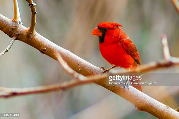 Close-Up Of Northern Cardinal Perching On Bare Tree