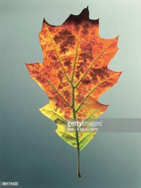Closeup of Northern red oak leaf