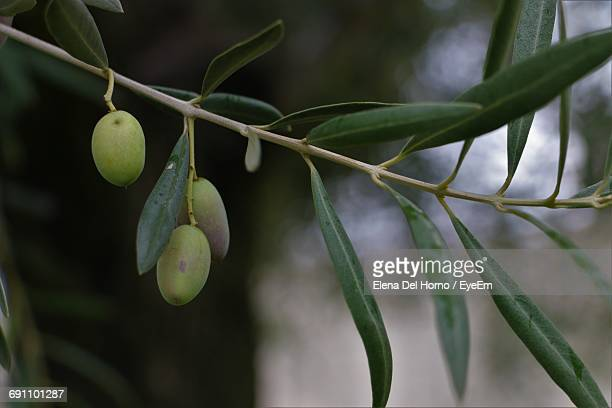 Close-Up Of Olives