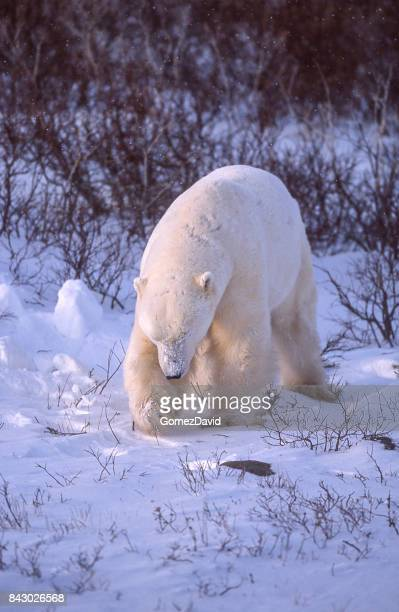 Close-up of One Wild Polar Bear Standing in Willow