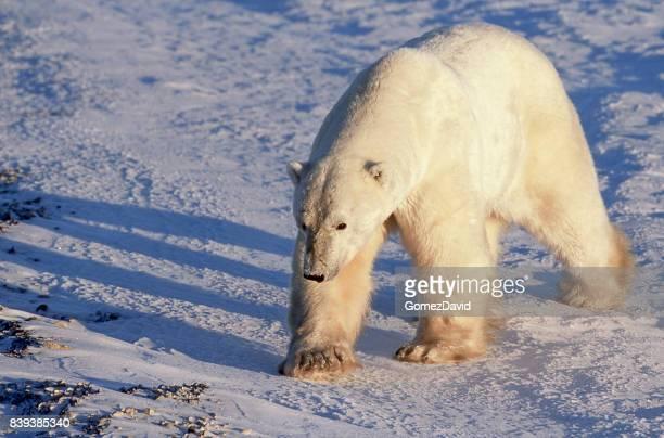 Close-up of One Wild Polar Bear Standing on Frozen Ground