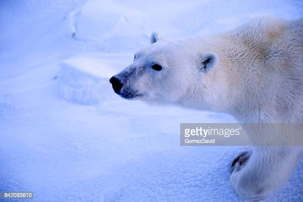Close-up of One Wild Polar Bear Standing on Frozen Water