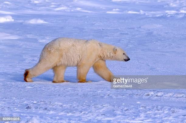 Close-up of One Wild Polar Bear Walking on Frozen Ground