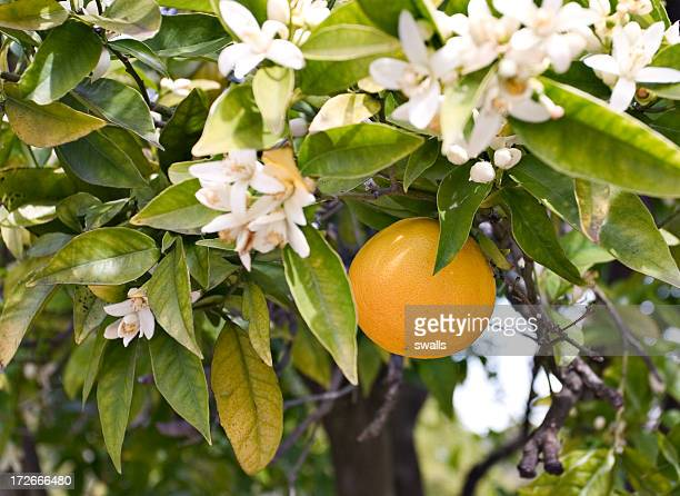 Close-up of orange blossoms and fruit on a tree