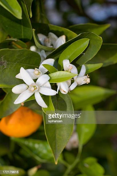 Closeup of orange blossoms on a tree