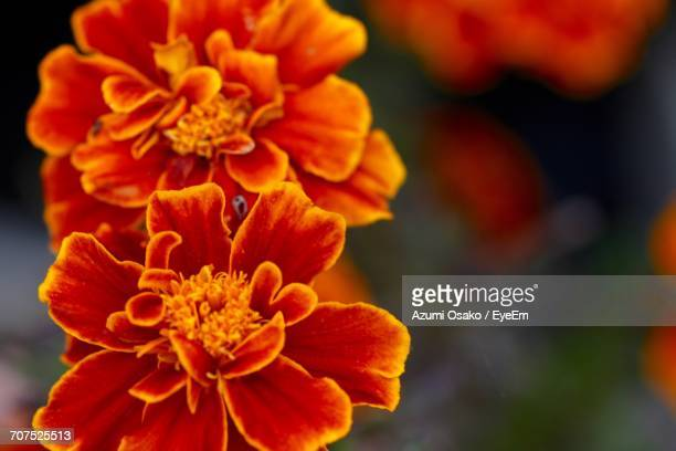 Close-Up Of Orange Dahlia Blooming Outdoors